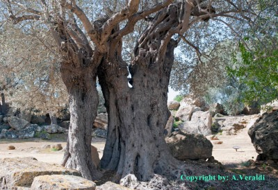 Ancient Olive-trees