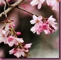 fior di ciliegio