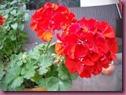 geranio red