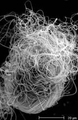 Drosphila bifurca sperm