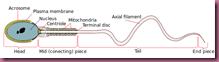 Complete_diagram_of_a_human_spermatozoa