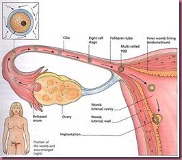 Fallopian tubes
