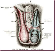 scrotum anatomy