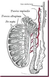 testicles anatomy