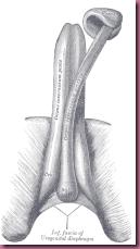 Corpus spongiosum