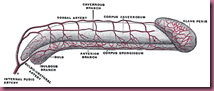 penis structure