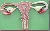 uterus-of-human