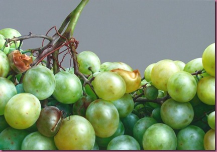Grapes  - Óleo sobre lienzo